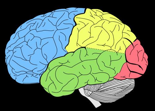 brain 500x358